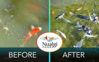 Nualgi Ponds Safely Controls Algae Amp Promotes Fish Health